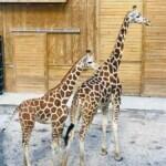 Giraffepic1