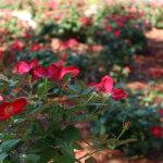usm - rose garden 3